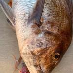 単独調査へ!秋の真鯛の冬支度・・・荒食いに期待。